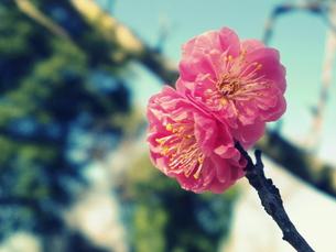梅の花の写真素材 [FYI00261332]