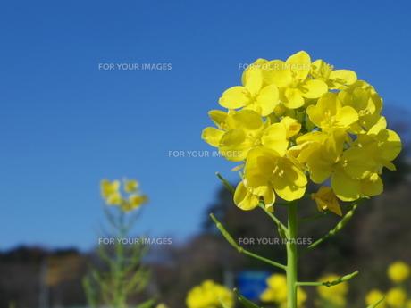 菜の花のアップの写真素材 [FYI00261334]