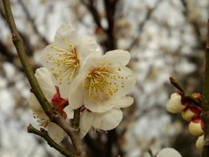 梅の花の写真素材 [FYI00261342]