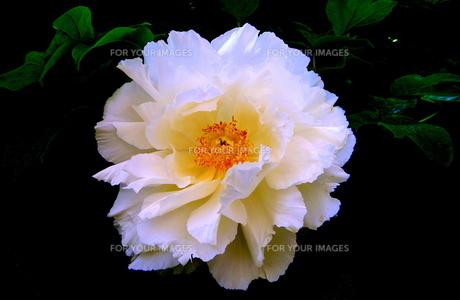 白色の牡丹の写真素材 [FYI00261348]