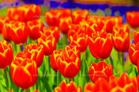 春の朱の素材 [FYI00261454]