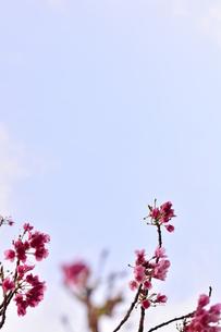 杏の花の写真素材 [FYI00261539]