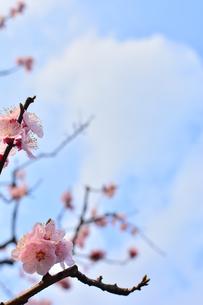 杏の花の写真素材 [FYI00261541]