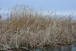 牛久沼の枯葦の写真素材 [FYI00261552]