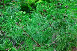 杉の木の写真素材 [FYI00261568]