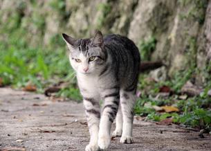 サバシロの若い野良猫の写真素材 [FYI00261570]