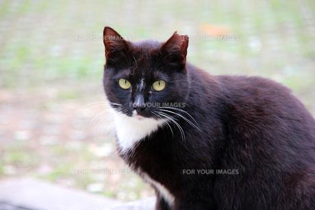 白黒の猫の写真素材 [FYI00261605]