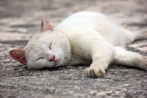 日陰で昼寝する、白猫の写真素材 [FYI00261674]