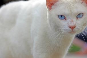 青い目の、白猫の写真素材 [FYI00261677]