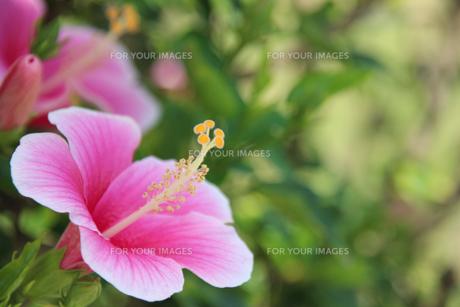 ハイビスカスの花の素材 [FYI00261679]