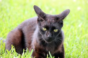 草むらに潜む、精悍な黒猫の写真素材 [FYI00261691]
