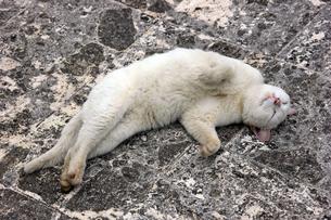 仰向けでリラックスしている、白猫の写真素材 [FYI00261693]