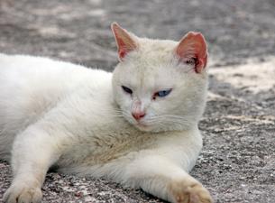 日陰でくつろぐ、白猫の写真素材 [FYI00261698]