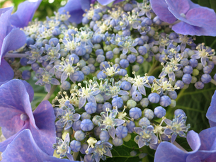 額紫陽花の写真素材 [FYI00261878]