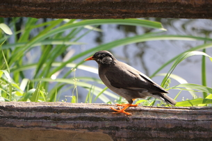 ムクドリがのんびり春を楽しむの写真素材 [FYI00261894]