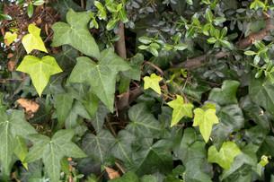 新緑のアイビーが次々と生まれる季節の写真素材 [FYI00261895]