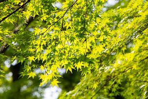 陽射しが透ける新緑の写真素材 [FYI00261898]