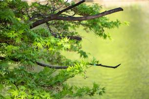 水面の春モミジの写真素材 [FYI00261903]