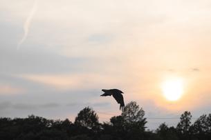夕暮れのカラスの写真素材 [FYI00261913]