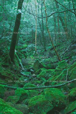 屋久島006の写真素材 [FYI00261962]