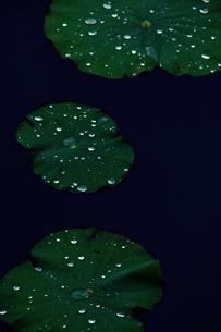 蓮の葉の写真素材 [FYI00261973]