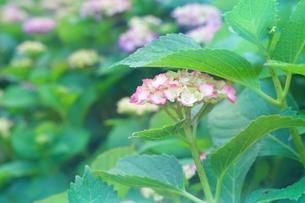 紫陽花の写真素材 [FYI00261981]