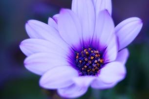 紫色の花の写真素材 [FYI00261990]