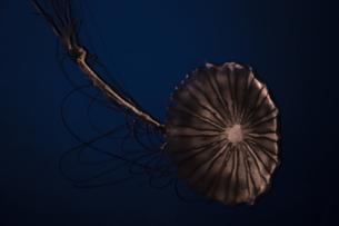 シックなクラゲの写真素材 [FYI00262002]