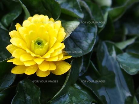 鮮やかなカラスばリュウキンカの花の写真素材 [FYI00262157]