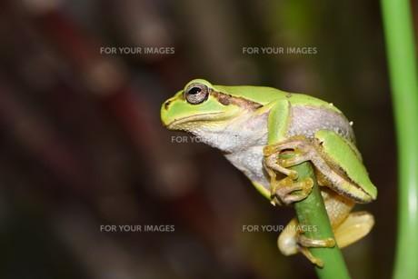 面白い格好のアマガエルの写真素材 [FYI00262201]