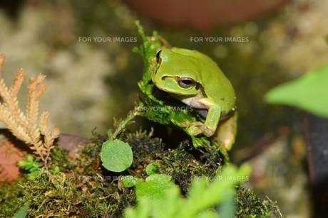カタヒバに止まっている雨蛙の写真素材 [FYI00262207]