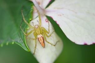 薄い緑色のササグモの写真素材 [FYI00262209]