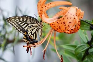 オニユリの蜜を吸っているアゲハの写真素材 [FYI00262222]