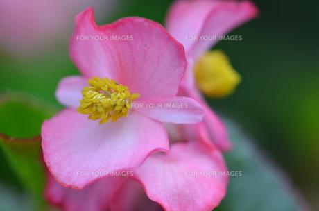 ピンクのゼラニュウムの写真素材 [FYI00262246]