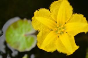 濃い黄色のアサザの花の写真素材 [FYI00262252]