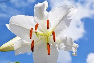 純白のカサブランカの写真素材 [FYI00262258]