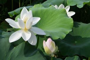 ハスの花の写真素材 [FYI00262267]