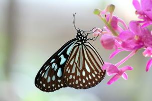 ピンクの蘭にとまる蝶の写真素材 [FYI00262271]