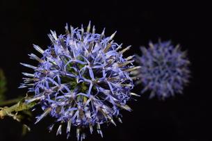 夜のヒゴタイの花の写真素材 [FYI00262280]