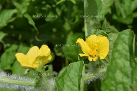 二輪のゴーヤの花の写真素材 [FYI00262285]