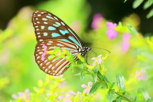 花にとまる蝶の写真素材 [FYI00262286]