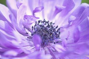 紫のアネモネの写真素材 [FYI00262288]