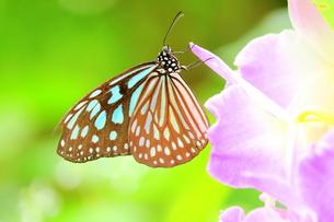 蘭にとまる蝶の写真素材 [FYI00262293]