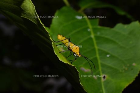 マユミの葉に止まるキバラヘリカメムシの素材 [FYI00262297]