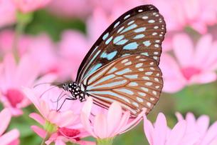 ピンクの花にとまる蝶の写真素材 [FYI00262299]