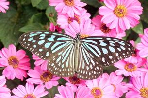 ピンクの花にとまる蝶の写真素材 [FYI00262300]