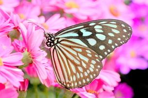 ピンクの花にとまる蝶の写真素材 [FYI00262301]