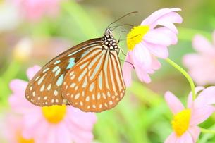 ピンクの花にとまる蝶の写真素材 [FYI00262302]
