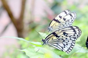 二匹の蝶の写真素材 [FYI00262304]