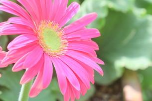 ピンクのガーベラの写真素材 [FYI00262306]